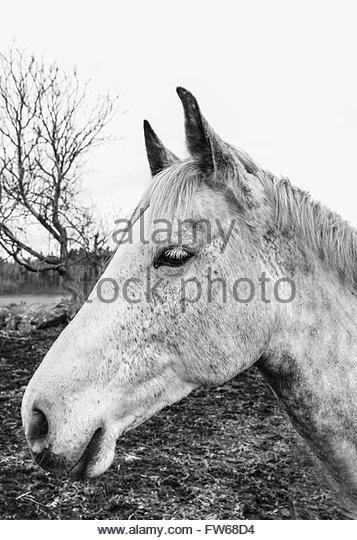 Monochromatic portrait of white/grey horse in profile - Stock Image