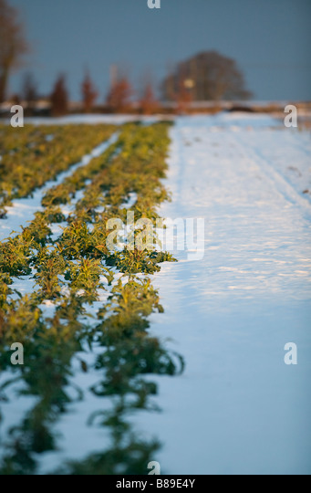 purple sprouting broccoli growing in field in the snow - Stock Image