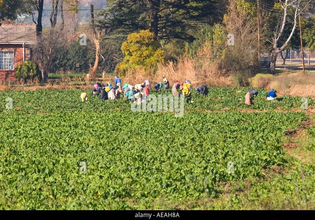 Vegetable Farm Pretoria - Stock Image