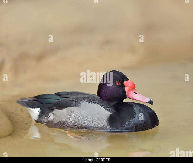 Rosy-billed Pochard Duck ,Close Up - Stock Image
