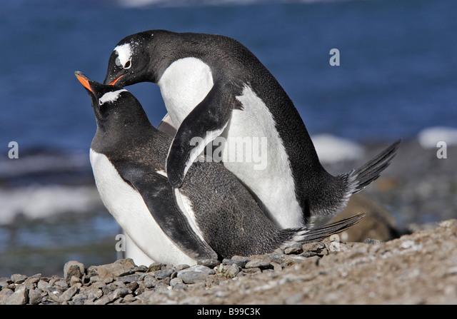 Gentoo Penguin (Pygoscelis papua), displaying couple - Stock Image