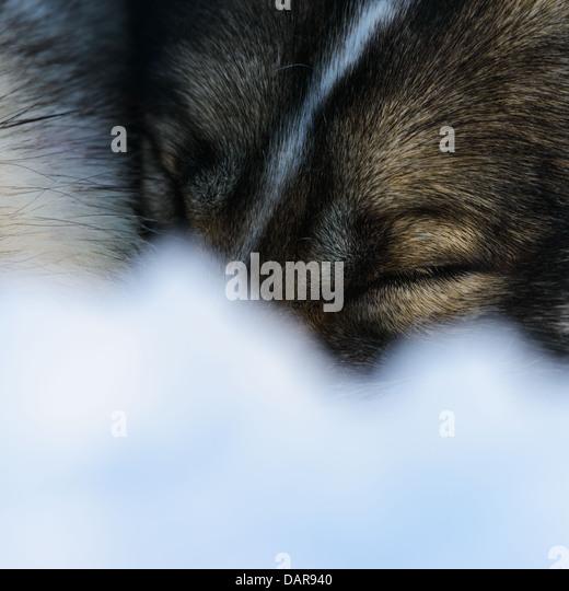 Siberian Husky sleeping, close-up - Stock Image