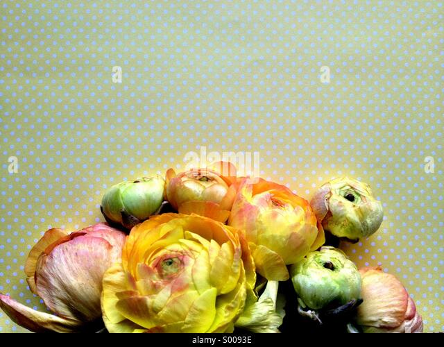 Ranunculus flowers on yellow polka dots - Stock Image