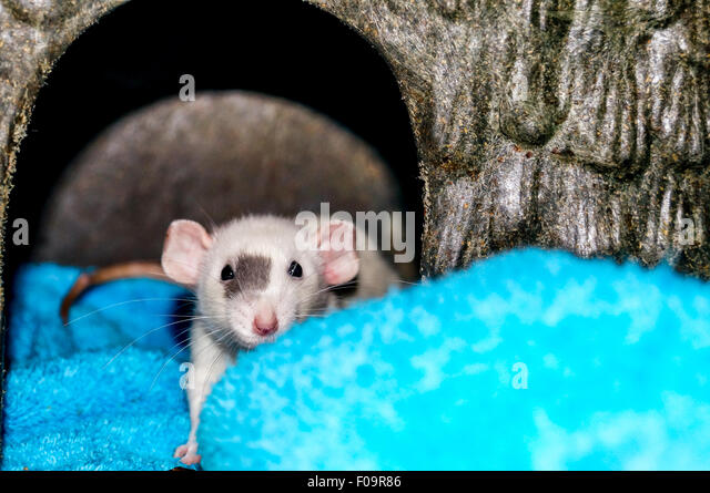White dumbo rat inside a small animal house and looking at the camera - Stock Image