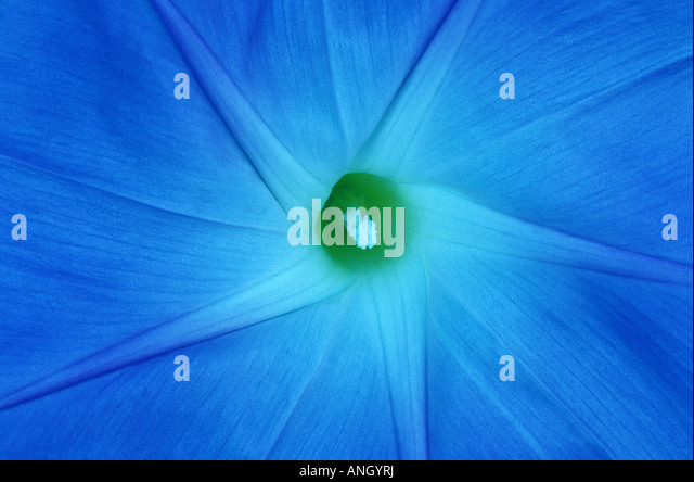 Morning glory blossom, Winnipeg, Manitoba, Canada. - Stock Image