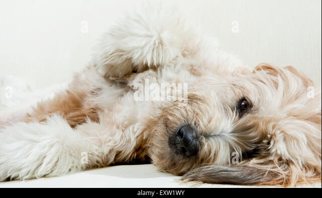 Adult Labradoodle dog laying down on side relaxing with eye contact - Stock Image