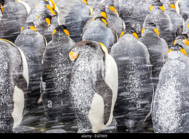 King Penguins huddle together with their backs to the sudden snow squall - Stock Image