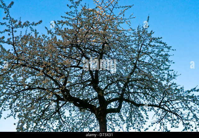 Silhouetted Cherry tree - France. - Stock Image