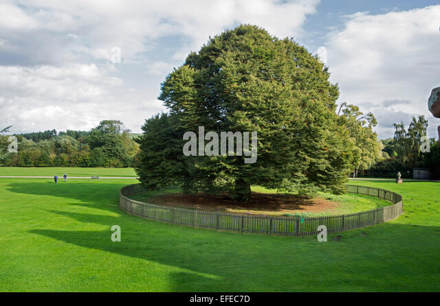 Tree, Rufford; Abbey; 12th; century; Ollerton; Nottinghamshire; UK; - Stock Image