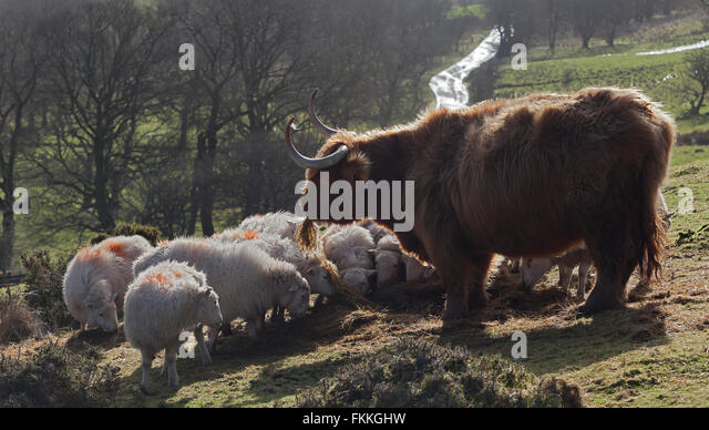 Highland cattle and sheep near Gospel Pass in the black Mountains of Wales,colour,color,horizontal - Stock Image