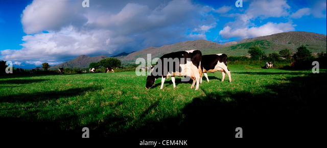 Holstein-Friesian Cattle, Co Cork, Ireland - Stock Image