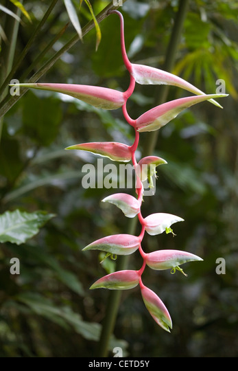 Hanging Heliconia (Lobster Claw) - Stock-Bilder