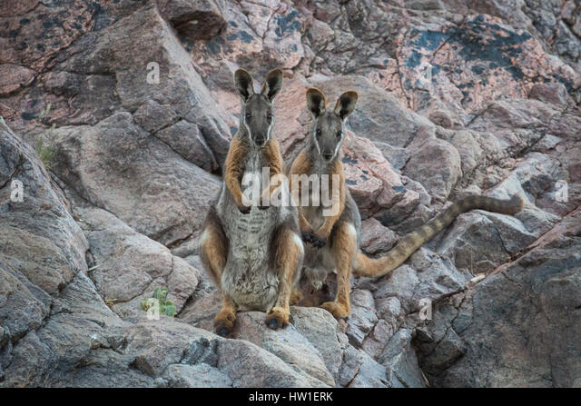 Yellow-footed Rock-wallaby (Petrogale xanthopus) - Stock-Bilder