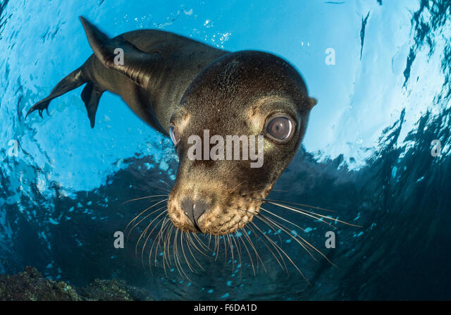 California Sea Lion, Zalophus californianus, La Paz, Baja California Sur, Mexico - Stock Image
