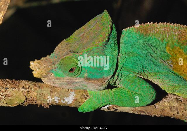 Male Parson's Chameleon (Calumma parsonii) in  eastern Madagascar - Stock-Bilder