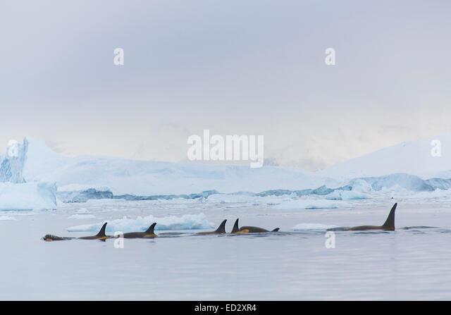 Killer whales, Neko Harbour, Antarctica. - Stock Image