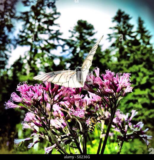 Butterfly on alpine flower - Stock Image