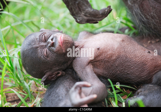Mother and baby Bonobo Chimpanzee at the Sanctuary Lola Ya Bonobo, Democratic Republic of the Congo - Stock-Bilder
