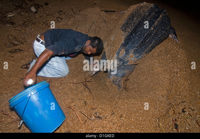 Leatherback turtle (Dermochelys coriacea) eggs being collected for transfer to a safer hatchery location, Shell - Stock Image