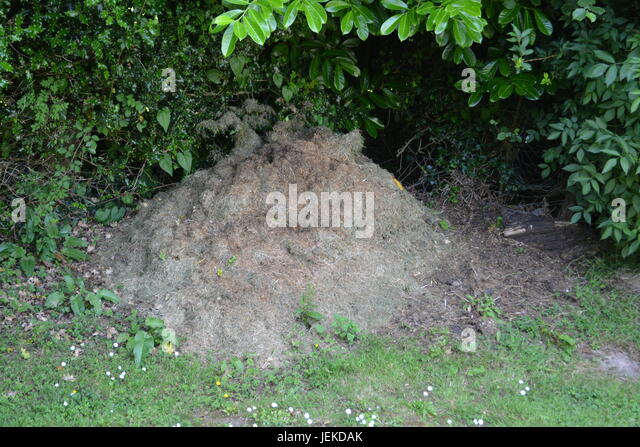 Grass cuttings compost heap in garden with grass at front and shrubs bushes to background Herefordshire England - Stock Image