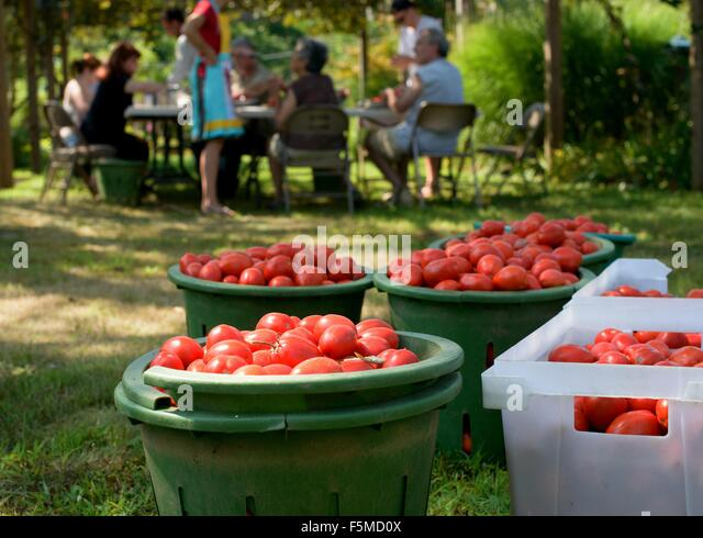 Family harvesting tomatoes into containers - Stock-Bilder