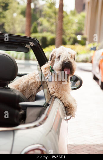 Dog going for a car ride - Stock Image