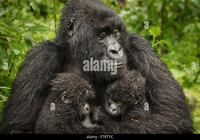Close Up Mountain Gorilla (Gorilla beringei beringei) Twin Babies - Stock Image