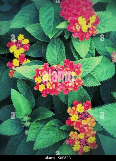 Red yellow tropical lantana flowering plant - Stock Image