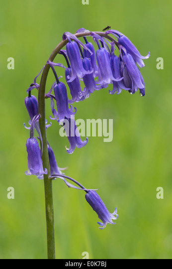 Bluebells (Hyacinthoides non-scripta) flowering in YYorkshire Arboretum Kew at Castle Howard North Yorkshire England - Stock Image