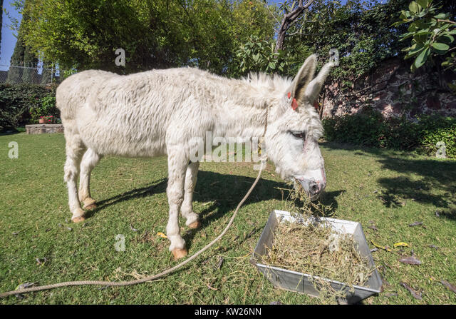 Pricked stock photos pricked stock images alamy for Burro blanco
