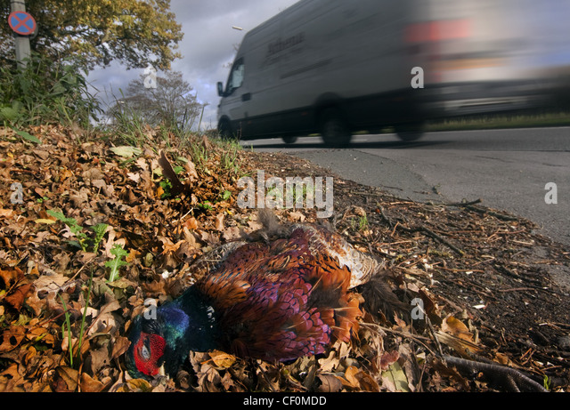 Roadkill - A pheasant killed by a passing white van, A556 Chester to Manchester road. Cheshire , England, GB, United - Stock Image