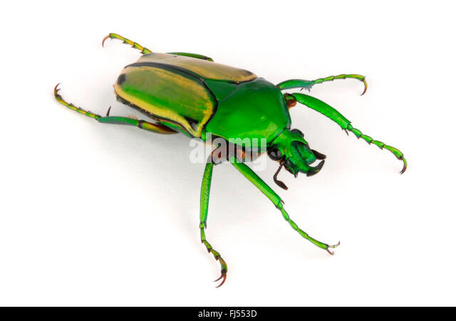 rose beetle; rose chafer (Eudicella aurata, Cyprolais aurata), cut-out, Cameroon - Stock-Bilder