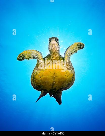 Green Sea Turtle, Chelonia mydas, Big Island, Hawaii, USA - Stock-Bilder