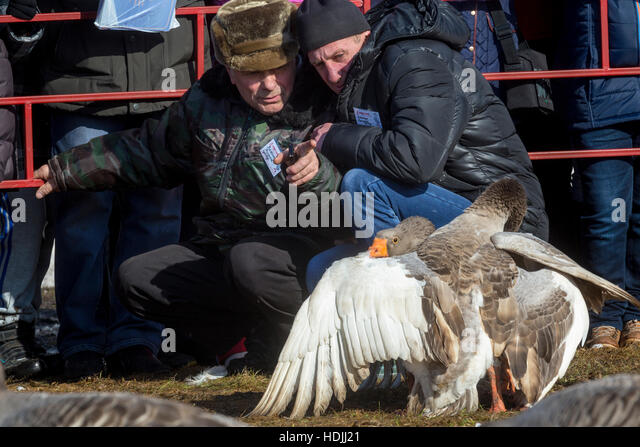 Geese owners with their pets during traditional March goose fights and celebration Shrovetide festival in the town - Stock Image