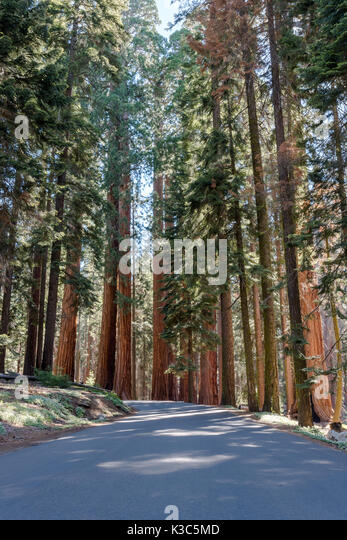 Giant Sequoias Tower Over Road and cast shadows - Stock Image