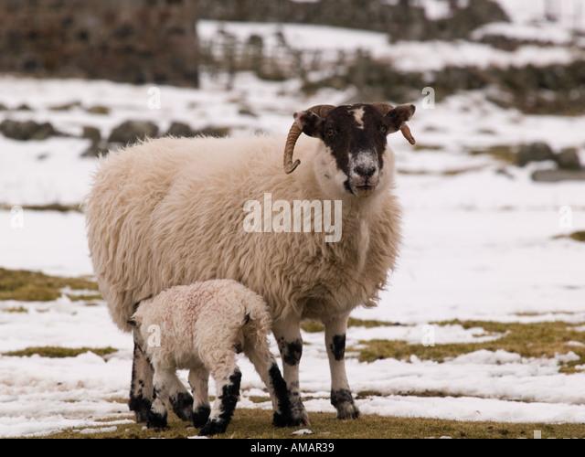 domestic sheep scottish blackface ewe stock photos