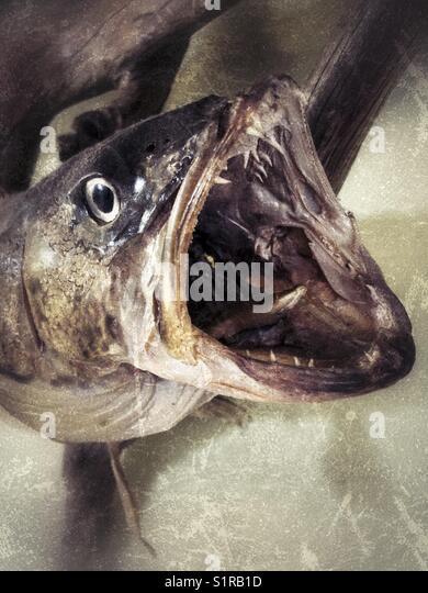 Walleye pike stock photos walleye pike stock images alamy for Muskie fish teeth