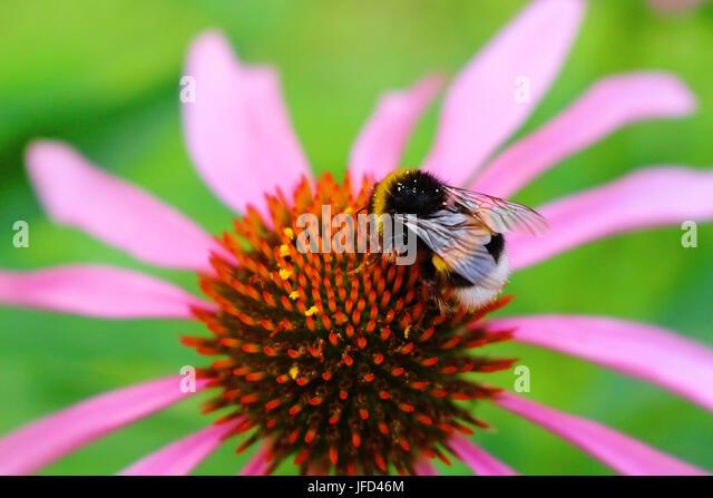 Humble Bee - Stock Image