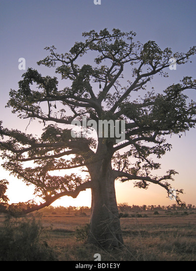 BAOBAB TREE  (Adansonia digitata) in Senegal near the northern limit of its range - Stock Image