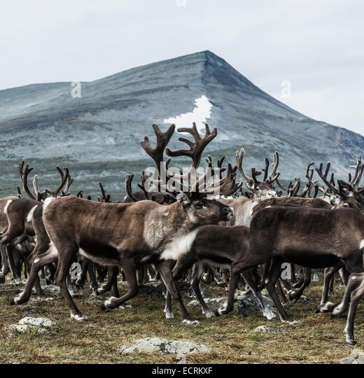 Herd of Reindeer on a mountain - Stock Image
