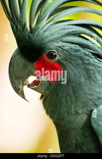 Palm Cockatoo Parrot (Probosciger aterrimus) in nature surrounding, Bali, Indonesia - Stock Image