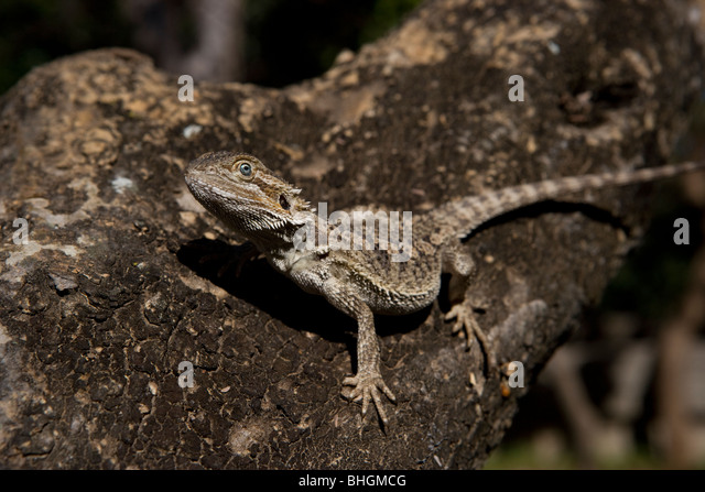 Bearded dragon with blue eye sat camouflaged on a tree branch - Stock Image