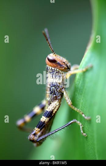 rain forest grasshopper nymph - Stock Image