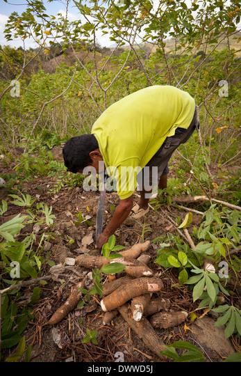 Panamanian man harvests Yuca roots in Las Minas de Tulu in Cocle province, Republic of Panama. - Stock-Bilder