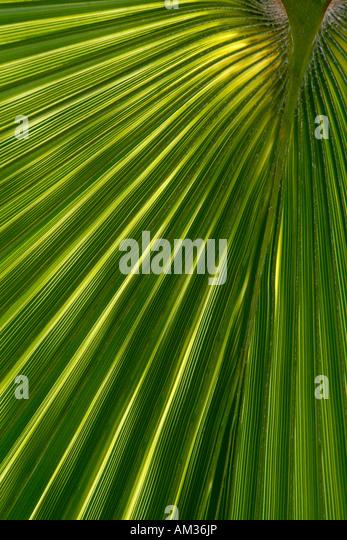 Palm leaf, arecaceae - Stock Image