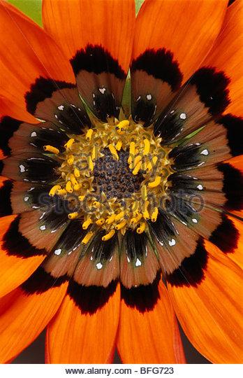 Gazania flower, Gazania rigida, Niewoudtville, South Africa - Stock Image