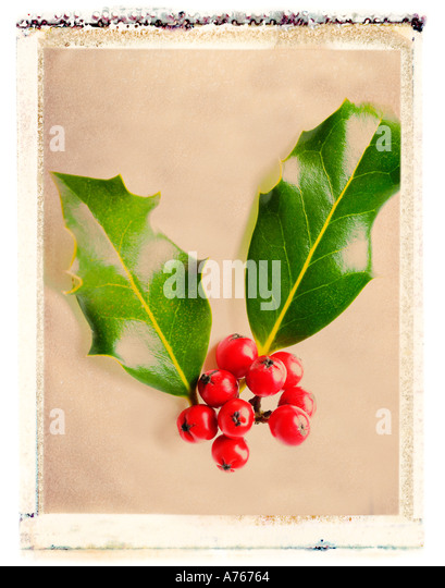 Holly berries - Stock Image