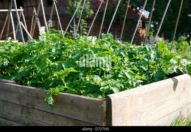 Potatoes in a raised garden bed. - Stock Image