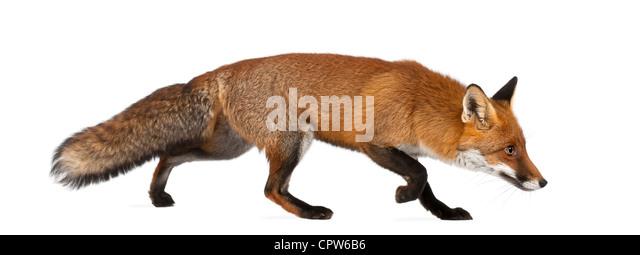 Red fox, Vulpes vulpes, 4 years old, walking against white background - Stock-Bilder