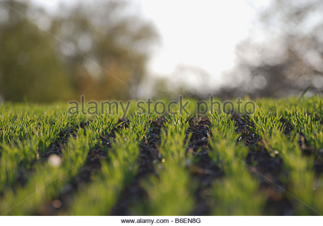 Rows of corn - Stock Image